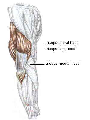 عضله سه سر بازویی