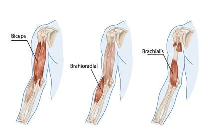 عضله دو سر بازویی - جلو بازو