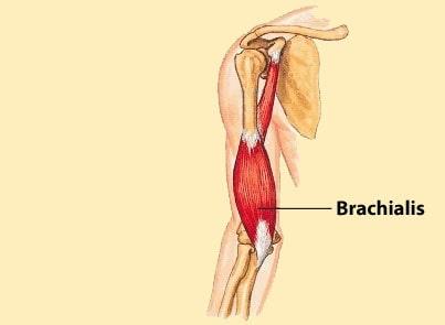عضله بازویی قدامی و عضله بازویی زند اعلایی -عضله بازویی قدامی -عضله بازویی زند اعلایی