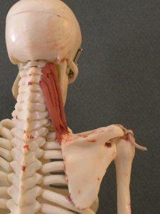 عضله بالابرنده کتف (گوشه ای)
